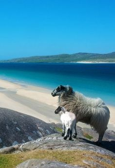 Luskentyre, Isle of Harris, Outer Hebrides, Scotland The Places Youll Go, Places To See, Isle Of Harris, Outer Hebrides, Scottish Islands, Alpacas, Scotland Travel, Scotland Beach, Fauna