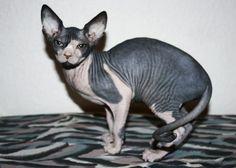 Raza de gato: Sphynx