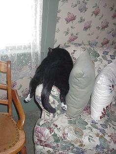 Ebon, our tuxedo cat, straddle napping