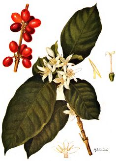 Coffee Arabica: leaves, flower, and fruit