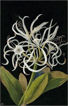 Mary Delany: Pancratium Maritinum, 1778