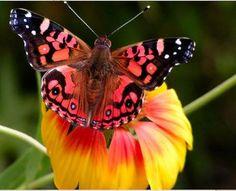 Pink Mariposa <3