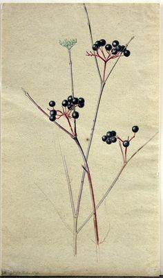 Elderberries (27th november 1830) by Moritz Tettelbach (1794–1870).  Gouache on paper.  Auktionshaus Aldagvia Wikimedia.