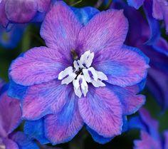Delphinium Beautiful Flowers Photos, Flower Photos, Beautiful Things, Bestie Tattoo, Purple Garden, Scented Oils, All Things Purple, Delphinium, Types Of Flowers