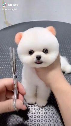 Cute Teacup Puppies, Cute Baby Puppies, Cute Animals Puppies, Super Cute Puppies, Teacup Pomeranian Puppy, Cute White Puppies, Tiny Puppies, Animals Dog, Cute Small Animals