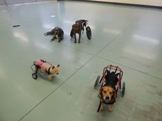It's a Ruff Rollin' Dog Wheelchair get together! Check out these cuties playing together in their dog wheels! Looks like a fun time to us!