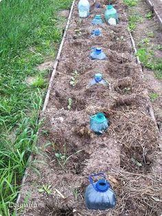 кольраби, цветная и брокколи - это рассадный способ посадки, высевала мама в теплице за 3 недели до высадки в грунт. Через каждые 70 см в центре моих капустных грядок вкопаны перфорированные 5 л. бутылки, которые потом будем использовать для полива