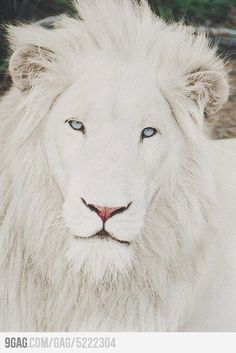 Ridiculously Photogenic White Lion <3