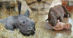 Nỗi nhớ mẹ khôn nguôi của tê giác con mồ côi vì nạn săn bắn động vật trái phép