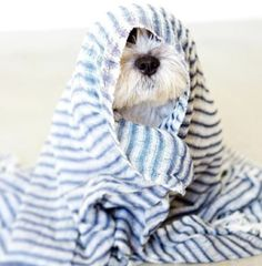 Everything About Energetic Miniature Schnauzer Pups Health Schnauzer Mix, Miniature Schnauzer, Cute Puppies, Cute Dogs, Dogs And Puppies, Doggies, Westies, West Highland White Terrier, Animals And Pets