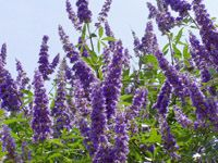 Definitely want some of these for 2012...     Vitex, Texas Lilac, or Chaste Tree    Vitex agnus-castus  Deciduous large shrub or small tree with distinctive palmately compound leaves. Profuse spikes of lavender flowers, blooming heavily in the early summer, and then sporadically throughout the summer and fall. Vitex is heat, drought and pest tolerant. 'Texas Lilac' is our group designation for several recommended cultivars including 'Montrose Purple,' 'LeCompte,' and 'Shoal Creek,' all of…