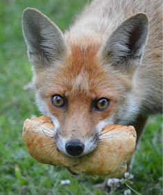 fox with bread