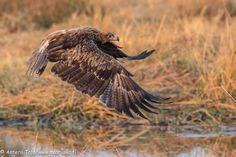 An eagle taking off. by Antero Topp