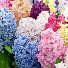 Hyacinths are large, fragrant flowers that are great for indoor floral arrangements or Easter tablescapes! #gardening #spring