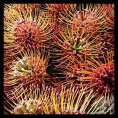 Pin Cushion Proteas at the flower market yesterday morning. Probably one of my favorite flowers!  Love designing with them.