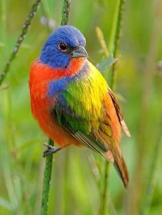埋め込み画像への固定リンク Bunting Bird, Painted Bunting, Pretty Birds, Beautiful Birds, Bird Migration, Migratory Birds, Little Critter, Bird Drawings, Bird Pictures