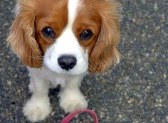 Cavalier King Charles Spaniel...how could you be mad at this face?