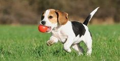 Are you interested in a Beagle? Well, the Beagle is one of the few popular dogs that will adapt much faster to any home. Cute Beagles, Cute Puppies, Dogs And Puppies, Begal Puppies, Toy Puppies, Adorable Dogs, Beagle Puppy, New Puppy, Purina Puppy