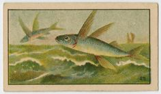 Fish series From New York Public Library Digital Collections.