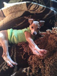 Italian greyhound puppy, fawn, in a sock, Dobby