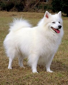 Although once used as a circus dog, American Eskimo Dogs are primarily companion dogs today and participate in conformation, obedience and agility competitions.