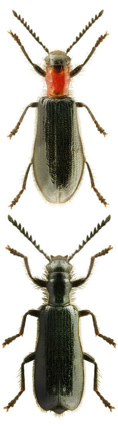 Tillus elongatus CLERIDAE