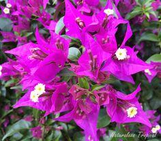Variedad morada de la flor de papel, Bougainvillea glabra