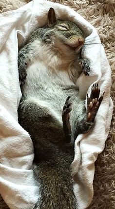 Rescue squirrel enjoying a little down time