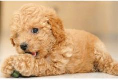 Miniature Poodle Puppy...I have a picture of my Minnie doing the exact same thing 13 years ago!  :)