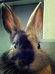 Harlequin rabbit Bob 10 weken oud
