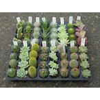 寄せ植えに最適サイズのプラグトレーサイズのプラグ苗 サボテン/さぼてん&多肉植物 http://www.akkis.jp/item/pu001/