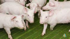 Why I Became a Swine Veterinarian - Peter R. Davies, BVSc, PhD