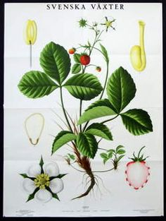 Chisholm Larsson Gallery has over Original Vintage Posters, spanning all genres. Botanical Drawings, Botanical Prints, Playhouse Interior, Island Tattoo, Flora Danica, Wild Strawberries, Scandinavian Home, Graphic Design Typography, Love People