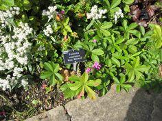 Potentilla nepalensis 'Miss Willmott' Herbaceous Border, Burgundy Color, Hyde, Color Themes, Plants, Decor, Decoration, Maroon Color, Planters