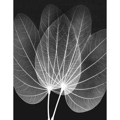 Great Big Canvas 'Orchid Tree X-Ray by Albert Koetsier Photographic Print Size: H x W x D, Format: White Framed Black And White Posters, Black And White Prints, White Art, Canvas Wall Art, Canvas Prints, Framed Prints, Big Canvas, Framed Wall, Orchid Tree