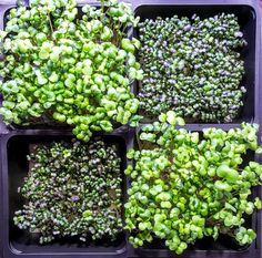 One of the common questions we get is from people wanting to try their hand at producing microgreens for small commercial use. Farmers Markets provide a nice test bed for growers just starting out....