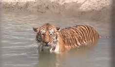2 Rescued Tigers Swim for the Very First Time! (VIDEO)