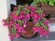 Fucsia fiore - Piante da giardino - Caratteristiche del fiore ...