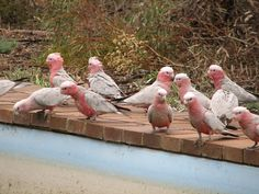 Galahs are also known as Pink and Greys among older Australians living in the bush. They fly in flocks of up to the hungreds. #Australia #wildlife #birds
