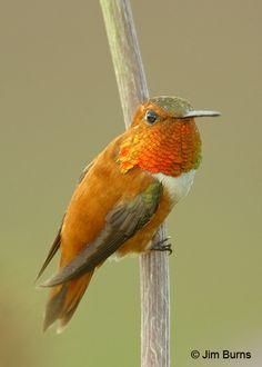Rufous Hummingbird by Jim Burns