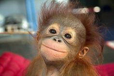 Check out this video compilation of Funny monkeys. Cute baby monkey and funny adult monkeys. Orangutan, chimp, capuchin monkey and more. Smiling Animals, Happy Animals, Cute Baby Animals, Animals And Pets, Funny Animals, Wild Animals, Laughing Animals, Nature Animals, Baby Orangutan