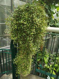Muehlenbeckia complexa South Wales, Balcony, Garden, Ideas, Maori, Plant, Garten, Lawn And Garden, Balconies