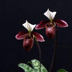 Paphiopedilum purpuratum(Hong Kong in southeastern China and Vietnam)