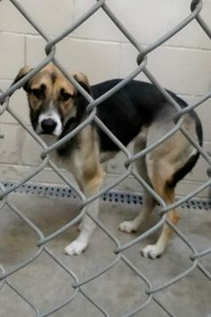 ~*~*~*~*CODE RED/EUTH LISTED*~*~*~*~* *~*~*MUST BE TAGGED BY 7 AM ON 11/27*~*~* WANT TO ADOPT/RESCUE/FOSTER? - PM THE PAGE  Cage 12 - SISSY Brown/White Shep X; Female 2 Years IMPOUND 11/19/13 | DUE OUT 11/26/13 @ 7 AM  Roswell Animal Control 705 E. McGaffey; Roswell, NM 575-624-6722 https://www.facebook.com/photo.php?fbid=226417920859546&set=a.211174685717203.1073741846.176246809209991&type=3&theater
