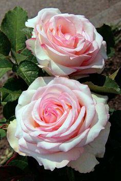 ~Rosa Moonstone