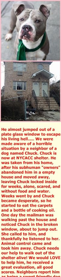 1/23/16 FROM SECOND CHANCE RESCUE! Foster or Adopter needed. Urgent.  Meet Chuck!! You can read his story by clicking on the link below.  http://m.rockawave.com/news/2016-01-22/Community/Postal_Carrier_Saves_Dog.html   This handsome guy needs a home asap. Click on Link and fill out app if you would like to share your home with this love bug. http://nycsecondchancerescue.org/app-form/#