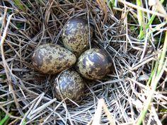 Бекас (фото): Осторожный «лесной барашек» Смотри больше http://kot-pes.com/bekas-foto/