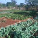 Another view of my vegetable garden in Phokeng, showing spinach and broccoli crops