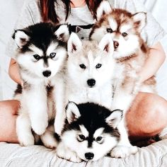 I have a Husky and she was so cute when she was little, she was the red one (looked like) #pomskyred