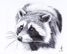 racoon etching by Malwenn Realistic Animal Drawings, Pencil Drawings Of Animals, Animal Sketches, Cute Drawings, Drawing Sketches, Raccoon Drawing, Raccoon Tattoo, Raccoon Art, Wildlife Art